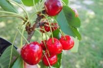 Названо влияние вишни на мозг